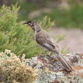 Red wattlebird. Adult. Arid Lands, Port Augusta, South Australia, October 2017. Image © John Fennell by John Fennell