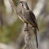Red wattlebird. Adult. Monarto, South Australia, October 2015. Image © John Fennell by John Fennell