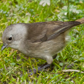 Whitehead. Adult feeding on the ground. Tiritiri Matangi, July 2013. Image © Les Feasey by Les Feasey