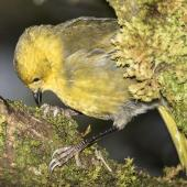 Yellowhead. Adult female feeding in ribbonwood tree. Routeburn Flats, Mt Aspiring National Park, March 2016. Image © Ron Enzler by Ron Enzler http://www.therouteburntrack.com