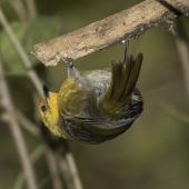 Yellowhead. Adult female hanging upside down in ribbonwood tree. Routeburn Flats, Mt Aspiring National Park, April 2016. Image © Ron Enzler by Ron Enzler http://www.therouteburntrack.com