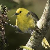 Yellowhead. Adult male. Routeburn Flats, Mt Aspiring National Park, April 2016. Image © Ron Enzler by Ron Enzler http://www.therouteburntrack.com