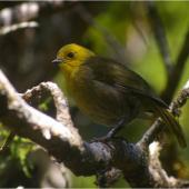 Yellowhead. Adult. Anchor Island, Dusky Sound, March 2011. Image © Colin Miskelly by Colin Miskelly