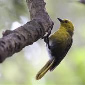 Yellowhead. Adult hanging from branch. Ulva Island, January 2015. Image © Steve Attwood by Steve Attwood  http://www.flickr.com/photos/stevex2/