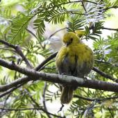 Yellowhead. Preening bird with feathers fluffed out. Ulva Island, January 2015. Image © Steve Attwood by Steve Attwood  http://www.flickr.com/photos/stevex2/