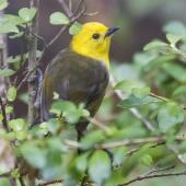 Yellowhead. Adult male. Ulva Island, October 2015. Image © Kathy Reid by Kathy Reid https://www.flickr.com/photos/kathy55/