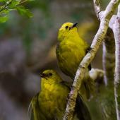 Yellowhead. Adult (above) and fledgling. Eglinton Valley,  Fiordland, March 2014. Image © Glenda Rees by Glenda Rees http://www.flickr.com/photos/nzsamphotofanatic/ (https://www.facebook.com/NZBANP)