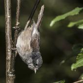 Brown creeper. Adult amongst the ribbonwood trees on bush edge. Routeburn Flats, Mt Aspiring National Park, March 2016. Image © Ron Enzler by Ron Enzler http://www.therouteburntrack.com