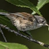 Brown creeper. Adult with caterpillar, amongst the ribbonwood trees on bush edge. Routeburn Flats, Mt Aspiring National Park, March 2016. Image © Ron Enzler by Ron Enzler http://www.therouteburntrack.com