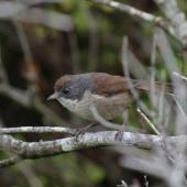 Brown creeper. Adult. Green Island, Foveaux Strait, December 2012. Image © Colin Miskelly by Colin Miskelly