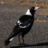 Australian magpie. Male black-backed magpie. North Shore, Auckland, September 2007. Image © Peter Reese by Peter Reese