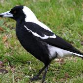 Australian magpie. Adult male white-backed magpie. Wanganui, September 2012. Image © Ormond Torr by Ormond Torr