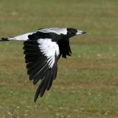 Australian magpie. Adult female white-backed magpie in flight. Wanganui, January 2008. Image © Ormond Torr by Ormond Torr