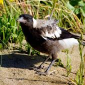 Australian magpie. Juvenile. Ngatitoa domain, Plimmerton, October 2015. Image © Paul Le Roy by Paul Le Roy