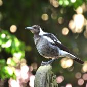Australian magpie. Juvenile. Grafton Cemetary, Auckland, January 2010. Image © Cheryl Marriner by Cheryl Marriner http://www.glen.co.nz/cheryl