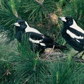 Australian magpie. Adult white-backed magpies at nest. Ilam, Christchurch, October 1980. Image © Peter Reese by Peter Reese