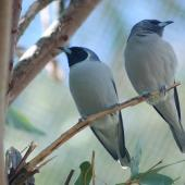 Masked woodswallow. Adult pair. Alice Springs, Northern Territory, July 2008. Image © Richard Fisher by Richard Fisher via Flickr, 2.0 Generic (CC BY 2.0)