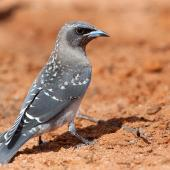 Masked woodswallow. Fledgling on ground. Pooginook Conservation Park, Waikerie, South Australia, December 2014. Image © Peter Jacobs 2015 birdlifephotography.org.au by Peter Jacobs