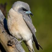 Masked woodswallow. Juvenile. Bowra Sanctuary, Queensland, October 2018. Image © Adam Higgins 2018 birdlifephotography.org.au by Adam Higgins