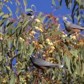 White-browed woodswallow. Adults perched, male in foreground. Central Victoria, Australia. Image © Sonja Ross by Sonja Ross