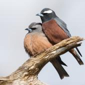 White-browed woodswallow. Adult pair, male on right. Keith, Mount Monster Conservation Park, South Australia, October 2019. Image © David Newell 2019 birdlifephotography.org.au by David Newell