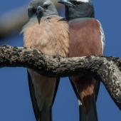 White-browed woodswallow. Adult pair (female on left). Warrumbungle Visitor Centre, New South Wales, November 2018. Image © Linda Unwin 2018 birdlifephotography.org.au by Linda Unwin