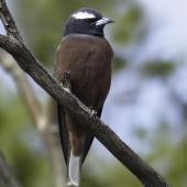 White-browed woodswallow. Adult male. Pengilly Scrub, South Australia, December 2013. Image © Craig Greer by Craig Greer http://craiggreer.com