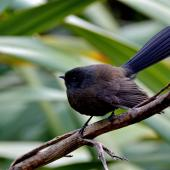 New Zealand fantail. Black morph South Island fantail. Point Kean, Kaikoura, May 2014. Image © Shellie Evans by Shellie Evans http://tikitouringnz.blogspot.co.nz/