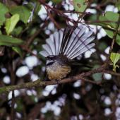 New Zealand fantail. Chatham Island adult showing fanned tail. Chatham Island, October 1993. Image © Peter Reese by Peter Reese