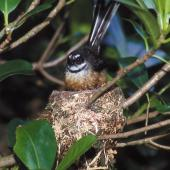 New Zealand fantail. Chatham Island adult at nest. Chatham Island, October 1993. Image © Peter Reese by Peter Reese