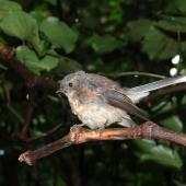 New Zealand fantail. Juvenile Chatham Island fantail. Rangatira Island, Chatham Islands, February 2018. Image © Graeme Taylor by Graeme Taylor