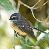 New Zealand fantail. North Island pied morph adult. Wenderholm Regional Park, Auckland. Image © Eugene Polkan by Eugene Polkan