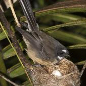 New Zealand fantail. Adult North Island fantail at nest with eggs. Oratia, November 2016. Image © John and Melody Anderson, Wayfarer International Ltd by John and Melody Anderson Love our Birds®| www.wayfarerimages.co.nz