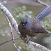 New Zealand fantail. South Island fantail, black morph. Hawdon Valley, April 2014. Image © Steve Attwood by Steve Attwood  http://www.flickr.com/photos/stevex2/