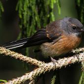 New Zealand fantail. Immature North Island pied morph. Wanganui, December 2010. Image © Ormond Torr by Ormond Torr