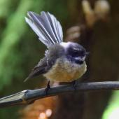 New Zealand fantail. Chatham Island adult. Main Chatham Island, October 2011. Image © Mark Fraser by Mark Fraser