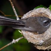 New Zealand fantail. North Island pied morph adult on nest. Wellington, December 2007. Image © Peter Reese by Peter Reese