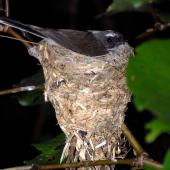 New Zealand fantail. North Island pied morph adult on nest. Wellington, October 2007. Image © Peter Reese by Peter Reese