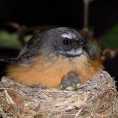 New Zealand fantail. North Island fantail on nest with chicks. , November 2007. Image © Peter Reese by Peter Reese