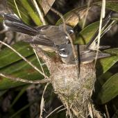 New Zealand fantail. Pair of North Island fantails building a nest. Oratia, November 2016. Image © John and Melody Anderson, Wayfarer International Ltd by John and Melody Anderson Love our Birds®| www.wayfarerimages.co.nz