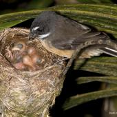 New Zealand fantail. Adult North Island fantail at nest with small chicks. Oratia, December 2016. Image © John and Melody Anderson, Wayfarer International Ltd by John and Melody Anderson Love our Birds®| www.wayfarerimages.co.nz