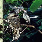 New Zealand fantail. North Island pied morph adult feeding chicks at nest. Cuvier Island, January 1977. Image © Department of Conservation (image ref: 10041894) by Dick Veitch Courtesy of Department of Conservation