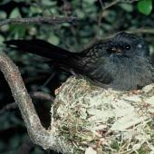New Zealand fantail. Black morph South Island adult on nest. Lake Ohau, December 1985. Image © Department of Conservation (image ref: 10029686) by Rod Morris Courtesy of Department of Conservation