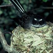 New Zealand fantail. Front view of South Island pied morph adult on nest. Lake Ohau, December 1985. Image © Department of Conservation (image ref: 10028037) by Rod Morris, Department of Conservation Courtesy of Department of Conservation