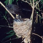 New Zealand fantail. Black morph South Island adult at nest with chicks. . Image © Peter Reese by Peter Reese