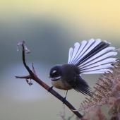 New Zealand fantail. North Island pied morph adult showing fanned tail . Mid-north, Northland. Image © Jenny Atkins by Jenny Atkins www.jennifer-m-pics.ifp3.com