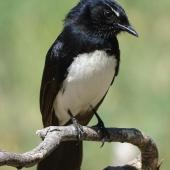 Willie wagtail. Adult. Canberra, October 2018. Image © R.M. by R.M.