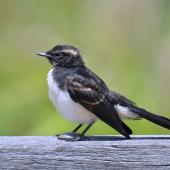 Willie wagtail. Juvenile. Yanchep National Park, December 2015. Image © Marie-Louise Myburgh by Marie-Louise Myburgh