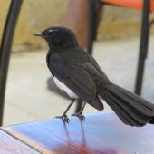 Willie wagtail. Adult standing on table. Coogee Beach Cafe,  Western Australia, January 2014. Image © Steve Mansfield by Steve Mansfield