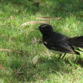 Willie wagtail. Adult with fanned tail. Coogee,  Western Australia, January 2015. Image © Steve Mansfield by Steve Mansfield
